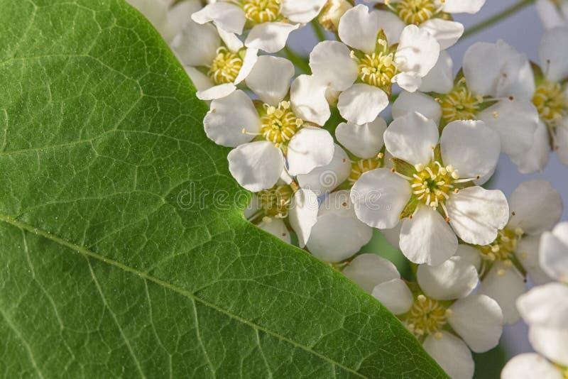 Μικρό άσπρο λουλουδιών floral υπόβαθρο σύστασης κινηματογραφήσεων σε πρώτο πλάνο Spiraea φαιάς ουσίας ωχρό, μακρο Γεωμετρικό ποσο στοκ εικόνες με δικαίωμα ελεύθερης χρήσης