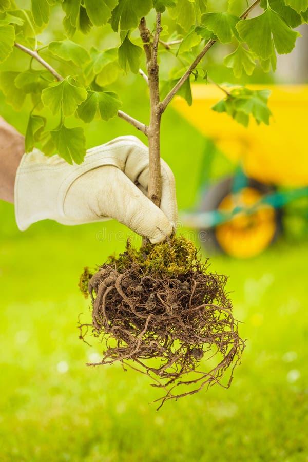 Μικρό δέντρο με τις ρίζες στο πράσινο υπόβαθρο στοκ φωτογραφίες με δικαίωμα ελεύθερης χρήσης