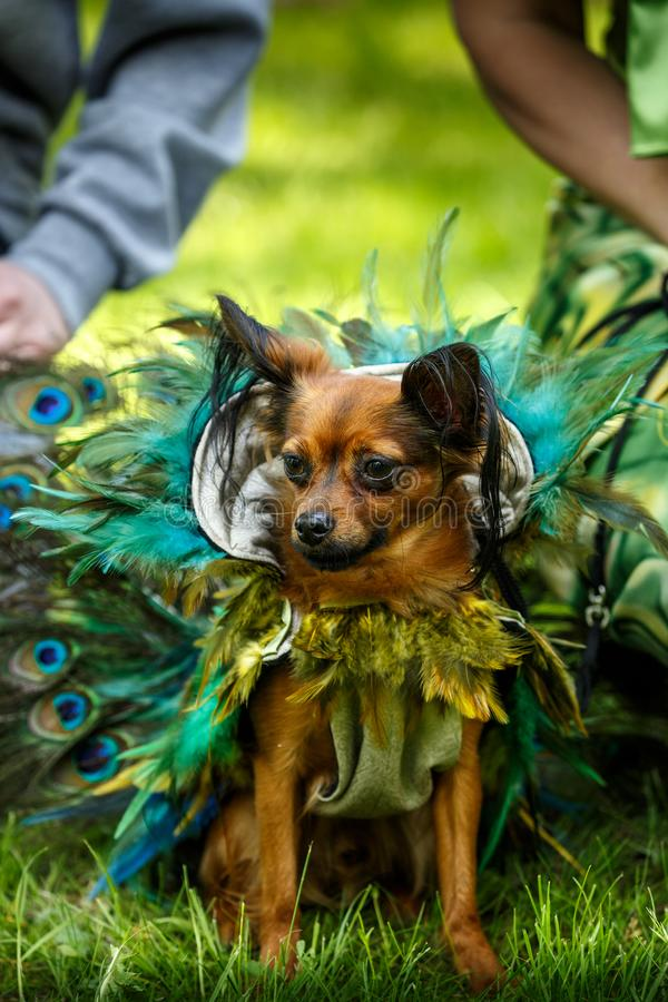 Μικρό αστείο σκυλί στο φόρεμα φτερών peacock στοκ φωτογραφία με δικαίωμα ελεύθερης χρήσης