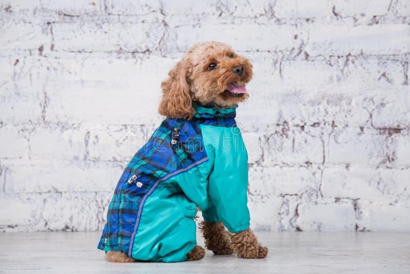 Μικρό αστείο σκυλί του καφετιού χρώματος με τη σγουρή τρίχα poodle παιχνιδιών της τοποθέτησης φυλής στα ενδύματα για τα σκυλιά Υπ στοκ φωτογραφία