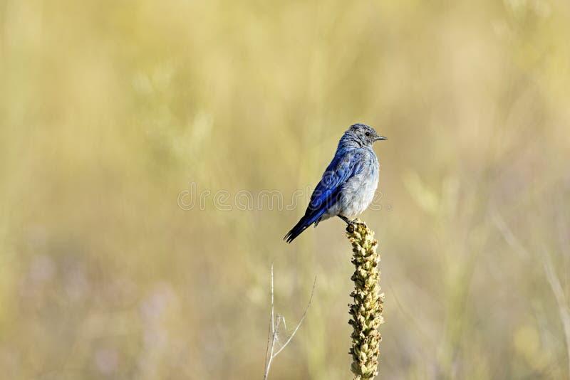 Μικρό βουνό bluebird σε εγκαταστάσεις στοκ φωτογραφία με δικαίωμα ελεύθερης χρήσης