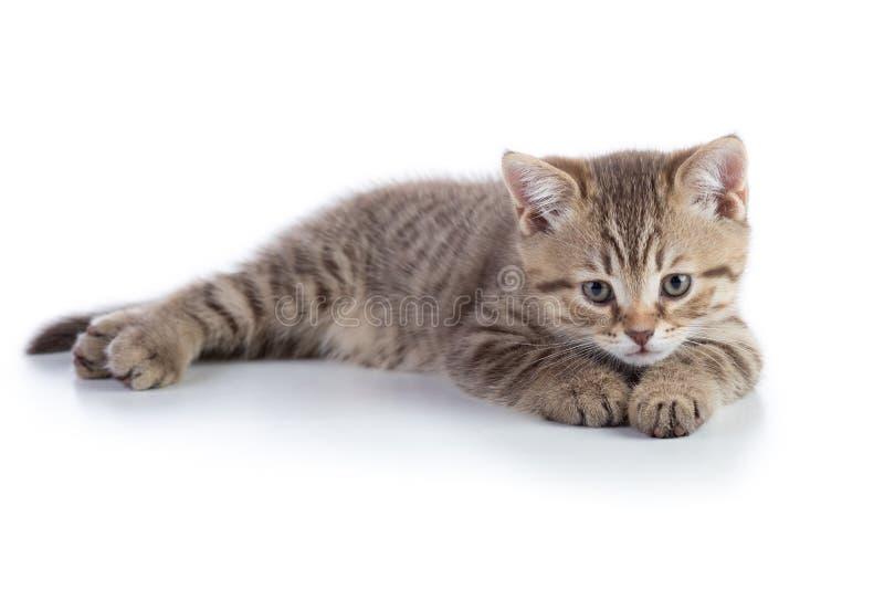 Μικρό γκρίζο να βρεθεί γατακιών που απομονώνεται στο άσπρο υπόβαθρο στοκ εικόνα με δικαίωμα ελεύθερης χρήσης