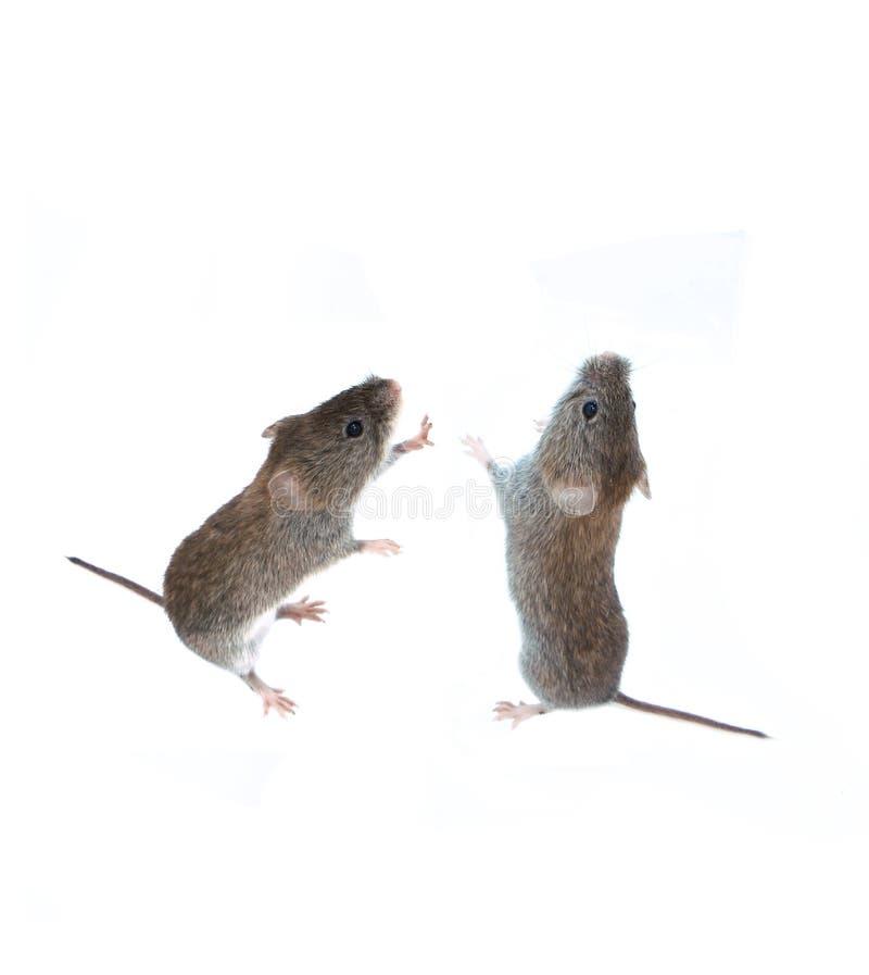 Μικρό γκρίζο ποντίκι δύο που στέκεται στα οπίσθια πόδια του και που ανατρέχει στοκ φωτογραφίες