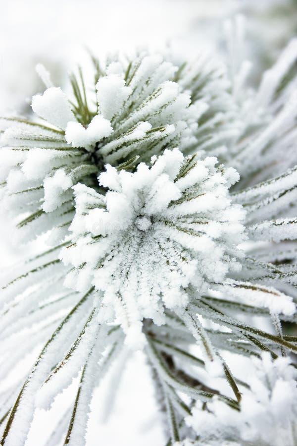 Μικρό δέντρο πεύκων που καλύπτεται με το χιόνι στοκ φωτογραφία με δικαίωμα ελεύθερης χρήσης