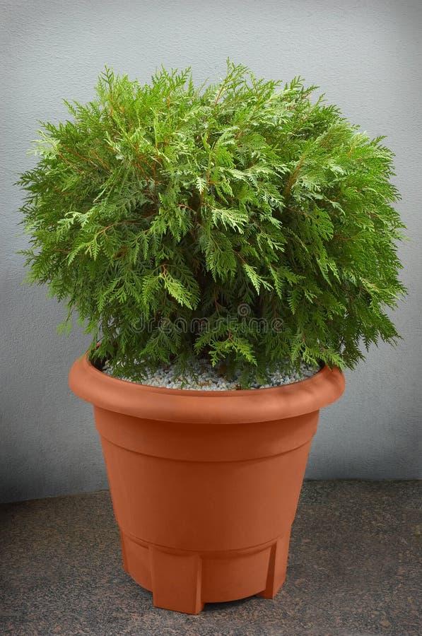 μικρό δέντρο thuya στοκ φωτογραφίες με δικαίωμα ελεύθερης χρήσης