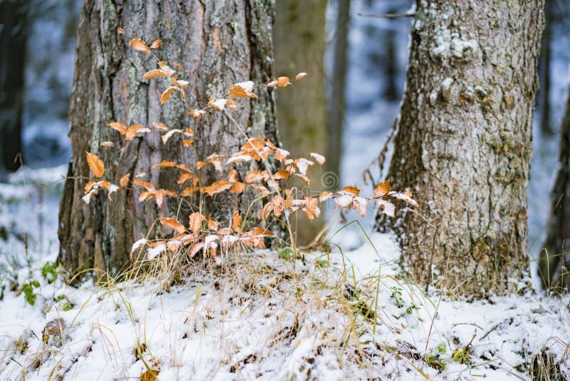 Μικρό δενδρύλλιο δέντρων που καλύπτεται στο χιόνι στο δάσος στοκ εικόνες με δικαίωμα ελεύθερης χρήσης