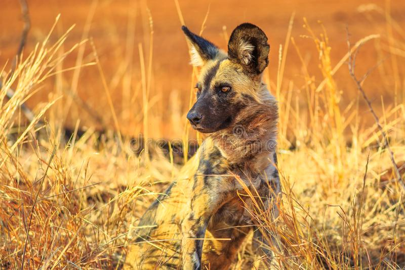 Μικρό επισημασμένο Hyena στοκ φωτογραφίες με δικαίωμα ελεύθερης χρήσης