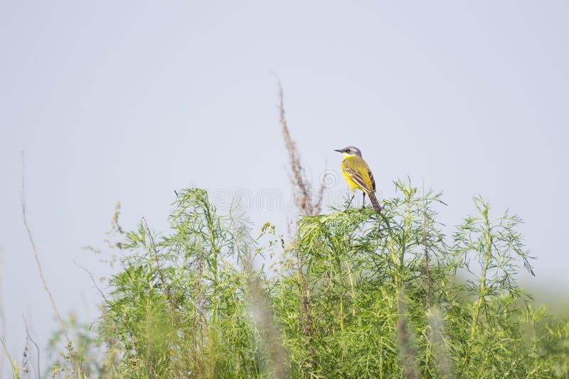 Μικρό κίτρινο πουλί στοκ εικόνες με δικαίωμα ελεύθερης χρήσης