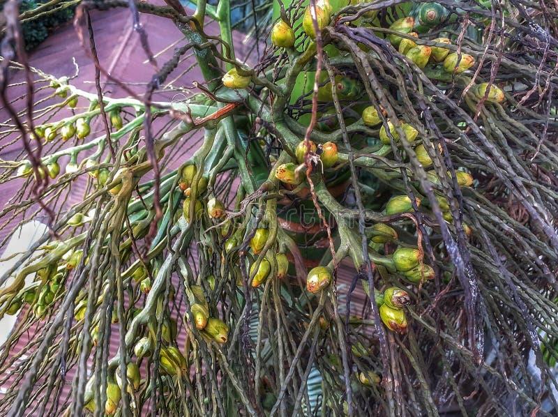 Μικρό καρύδι bittel στο δέντρο στοκ εικόνες
