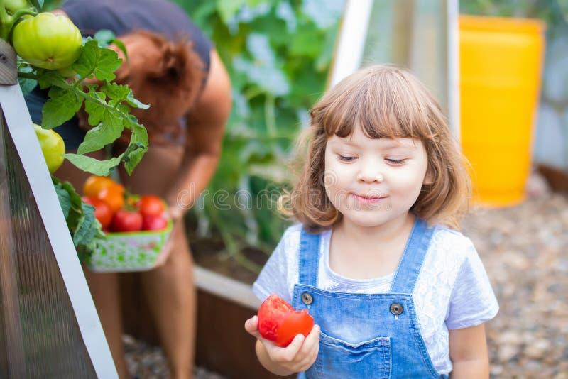 Μικρό κορίτσι και η μητέρα της που συγκομίζουν τις ώριμες ντομάτες από κοινού στοκ εικόνα με δικαίωμα ελεύθερης χρήσης