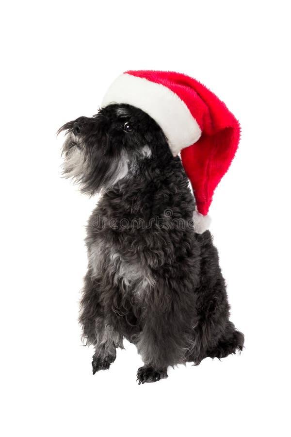 Μικρό μαύρο σκυλί μικροσκοπικό Schnauzer στο καπέλο Santa ` s Απομονωμένο ο στοκ φωτογραφία με δικαίωμα ελεύθερης χρήσης