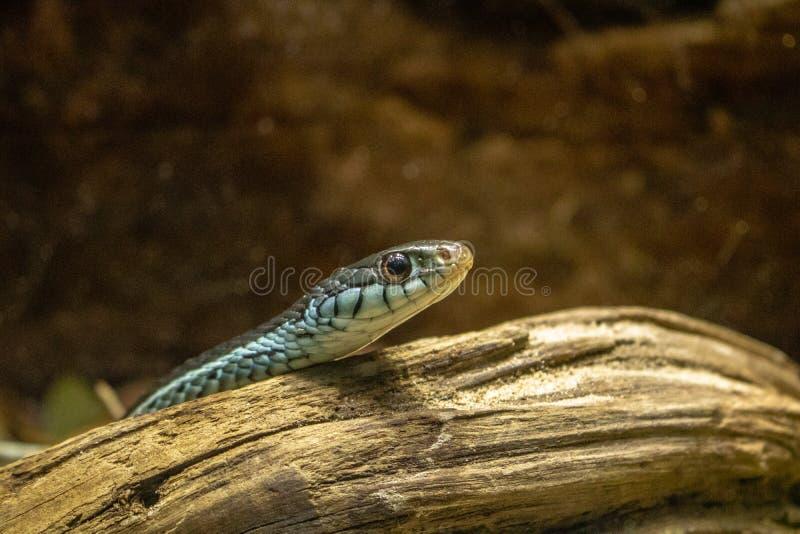 Μικρό μπλε και μαύρο φίδι στοκ εικόνες