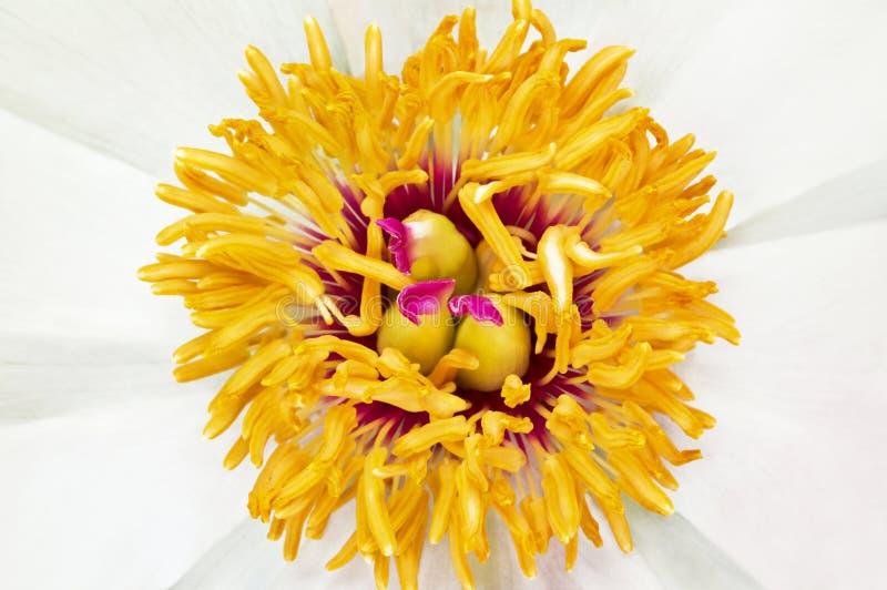 Μικρό λουλούδι peony. στοκ εικόνα με δικαίωμα ελεύθερης χρήσης
