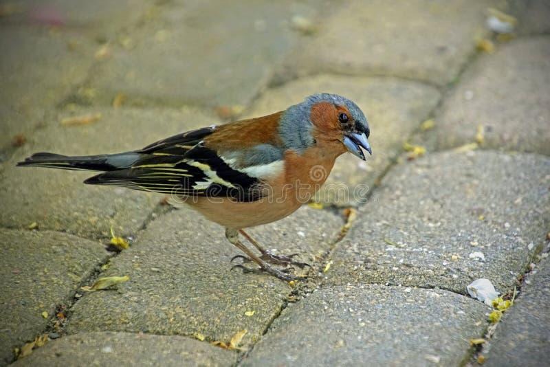 Μικρό πουλί Chaffinch στο κομψό φτέρωμα άνοιξη o r στοκ εικόνες