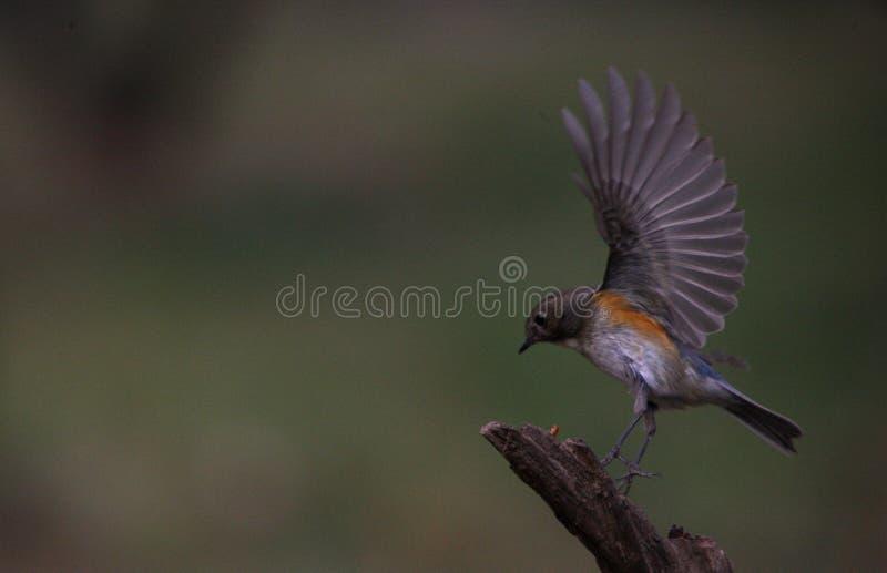Μικρό πουλί με το χτύπημα φτερών στοκ εικόνα