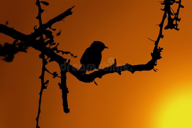 Μικρό πουλί στη σκιαγραφία ηλιοβασιλέματος δέντρων αγκαθιών στοκ φωτογραφία