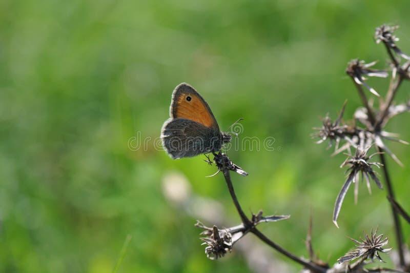 Μικρό ρείκι πεταλούδων στοκ εικόνες με δικαίωμα ελεύθερης χρήσης