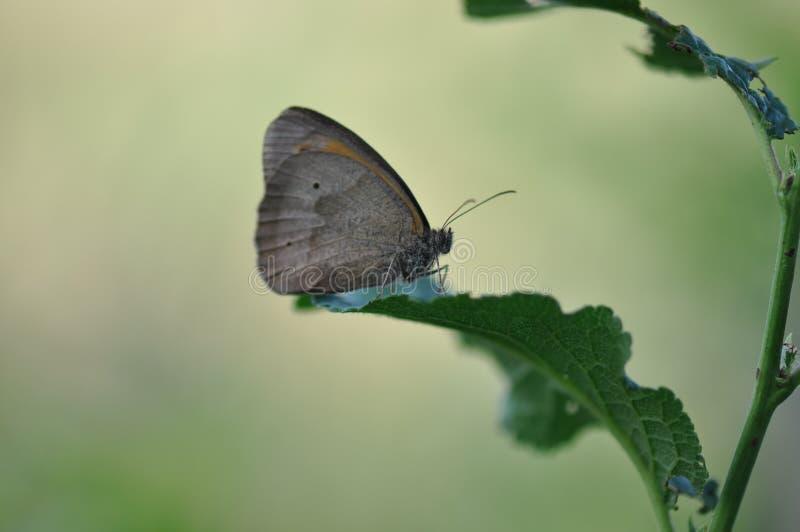 Μικρό ρείκι πεταλούδων στοκ φωτογραφία