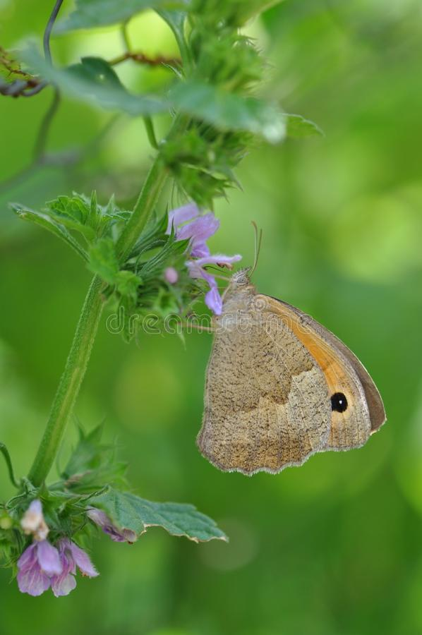 Μικρό ρείκι πεταλούδων στοκ εικόνες