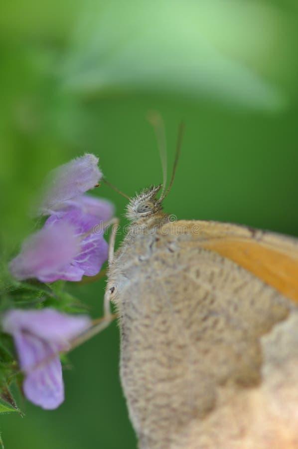 Μικρό ρείκι πεταλούδων στοκ φωτογραφίες