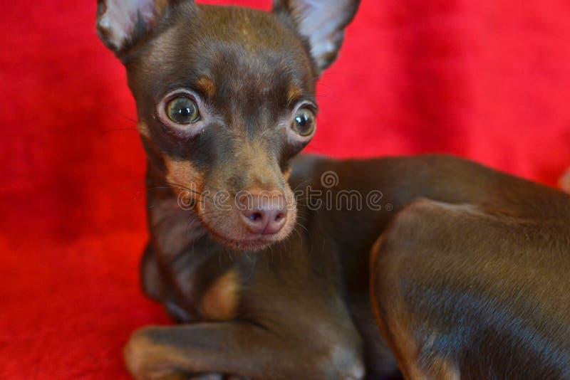 Μικρό ρωσικό toi-τεριέ σκυλιών στοκ εικόνα με δικαίωμα ελεύθερης χρήσης