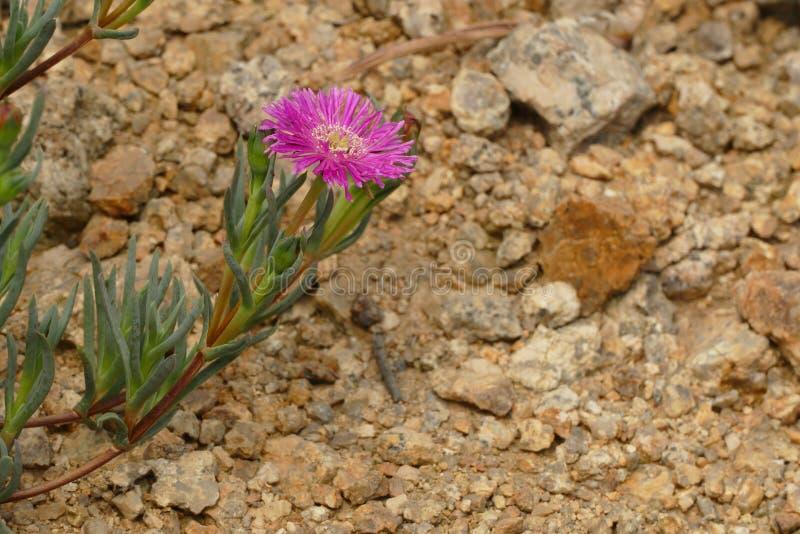 Μικρό ρόδινο λουλούδι της Nic στοκ φωτογραφίες