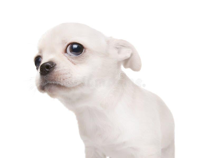 Μικρό σκυλί κουταβιών που εξετάζει κάτι Απομονωμένος στο λευκό στοκ φωτογραφία