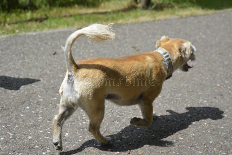 Μικρό σκυλί περπατήματος με τα συμπαθητικά coulors στοκ φωτογραφία με δικαίωμα ελεύθερης χρήσης