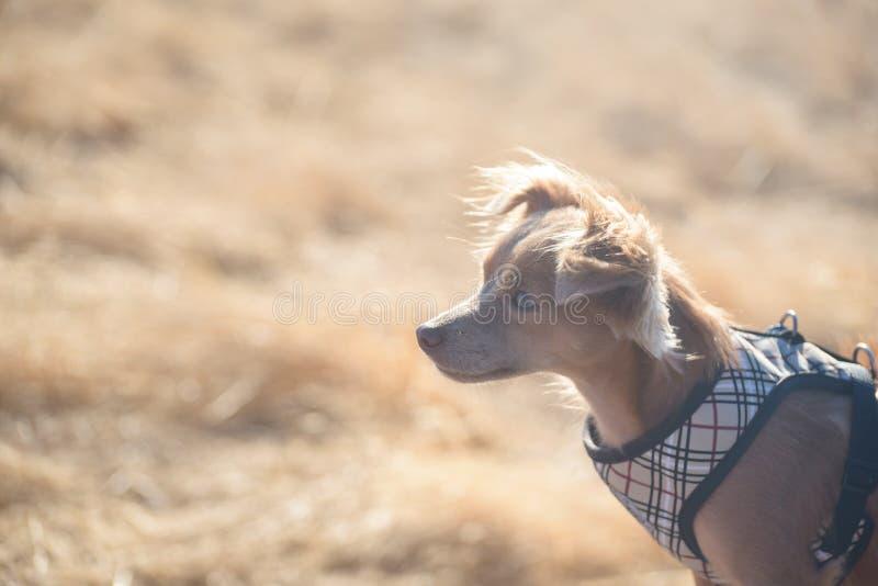 Μικρό σκυλί Chihuahua που κρατά το ρολόι στην κίτρινη χλόη στοκ φωτογραφία με δικαίωμα ελεύθερης χρήσης