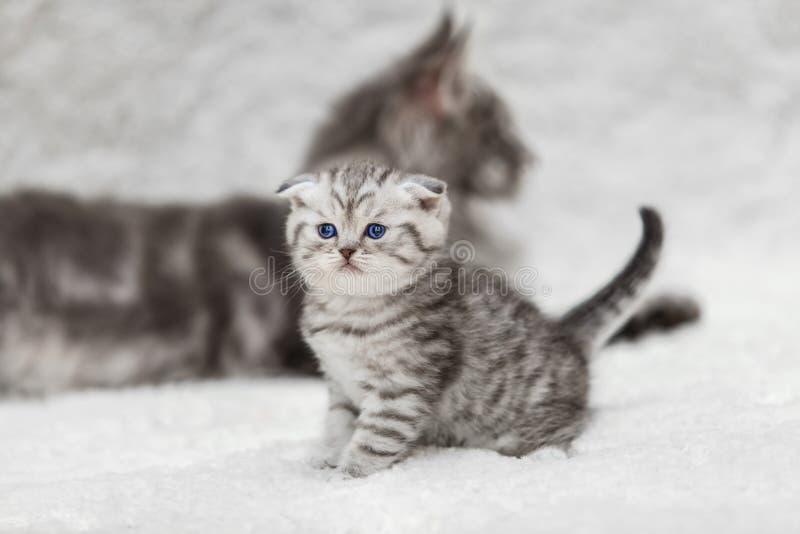 Μικρό σκωτσέζικο γατάκι πτυχών και μεγάλη γκρίζα γάτα του Maine coon στοκ φωτογραφίες με δικαίωμα ελεύθερης χρήσης