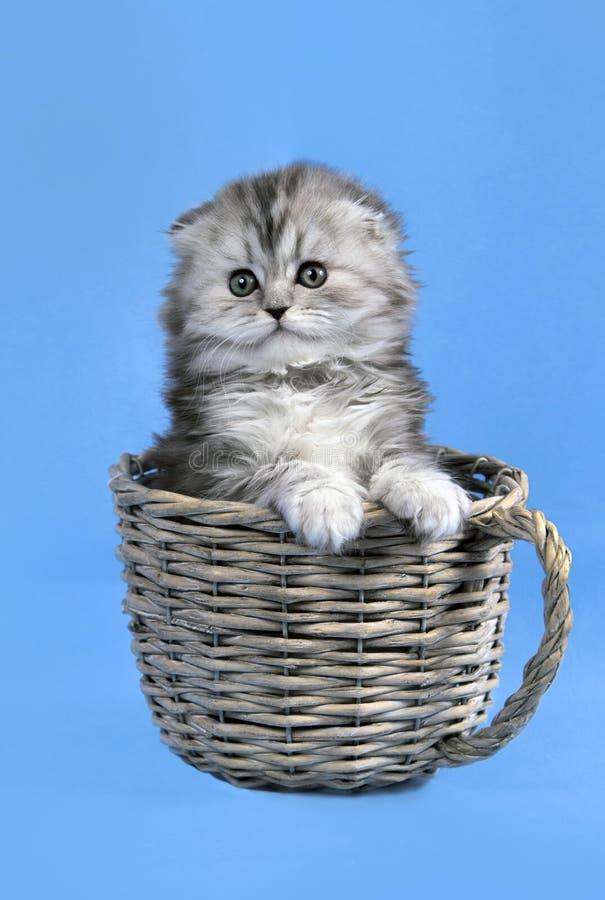 Μικρό σκωτσέζικο γατάκι πτυχών στοκ φωτογραφίες