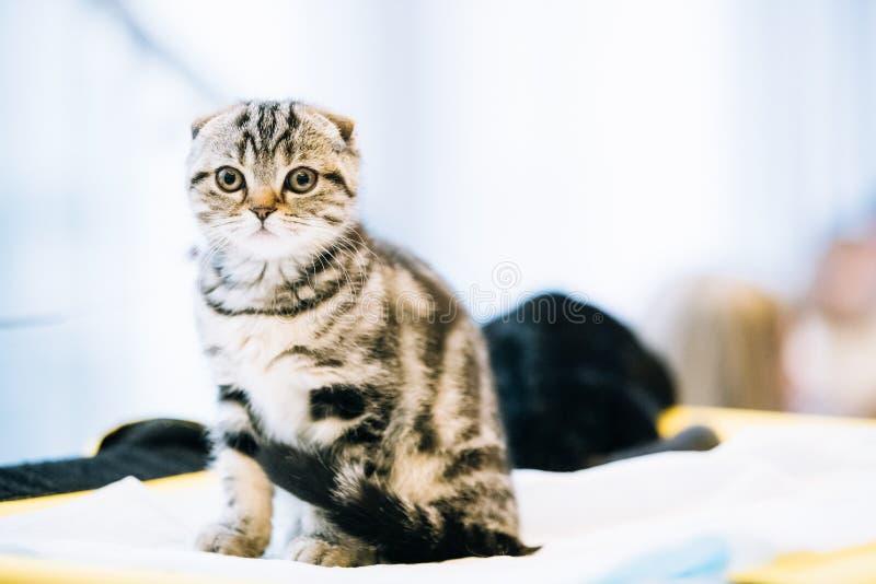 Μικρό χαριτωμένο γκρίζο σκωτσέζικο γατάκι γατών πτυχών εσωτερικό στοκ εικόνες