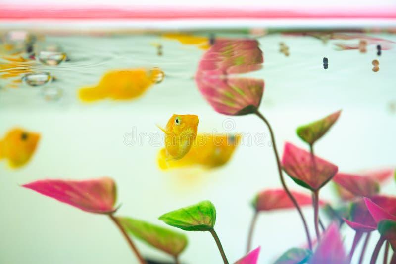 Μικρό ψάρι Μόλι, Poecilia latipinna σε ενυδρείο ή ενυδρείο στοκ φωτογραφία με δικαίωμα ελεύθερης χρήσης