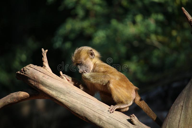 Μικρό baboon της Γουινέας δοκιμάζει μερικά λαχανικά στοκ φωτογραφίες με δικαίωμα ελεύθερης χρήσης