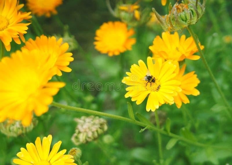 Μικρό bumblebee σε ένα κίτρινο λουλούδι στοκ εικόνες