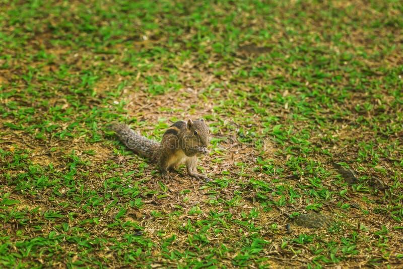 Μικρό chipmunk στον πράσινο χορτοτάπητα στοκ φωτογραφία με δικαίωμα ελεύθερης χρήσης