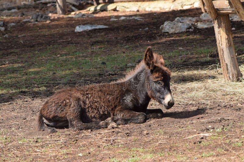 Μικρό Foal γαιδάρων στοκ εικόνες