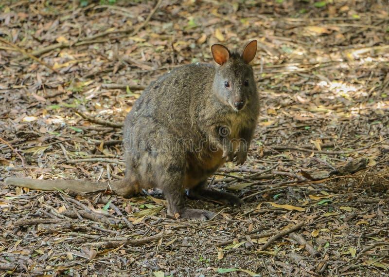 Μικρό marsupial Pademelon στοκ φωτογραφία