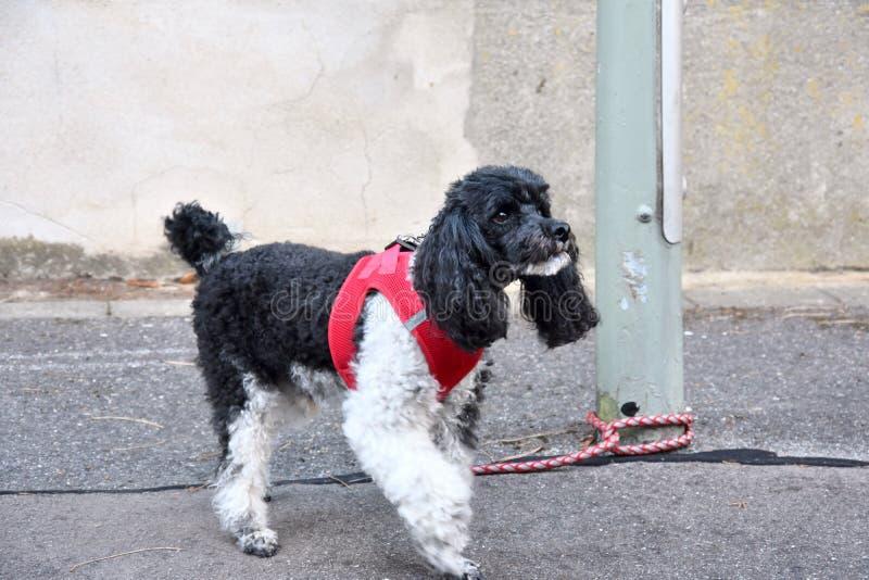 Μικρό poodle harlequin, που δένεται σε μια θέση λαμπτήρων, περιμένει τον ιδιοκτήτη του στοκ φωτογραφία