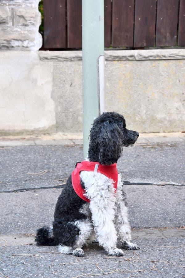 Μικρό poodle harlequin, που δένεται σε μια θέση λαμπτήρων, περιμένει τον ιδιοκτήτη του στοκ φωτογραφίες
