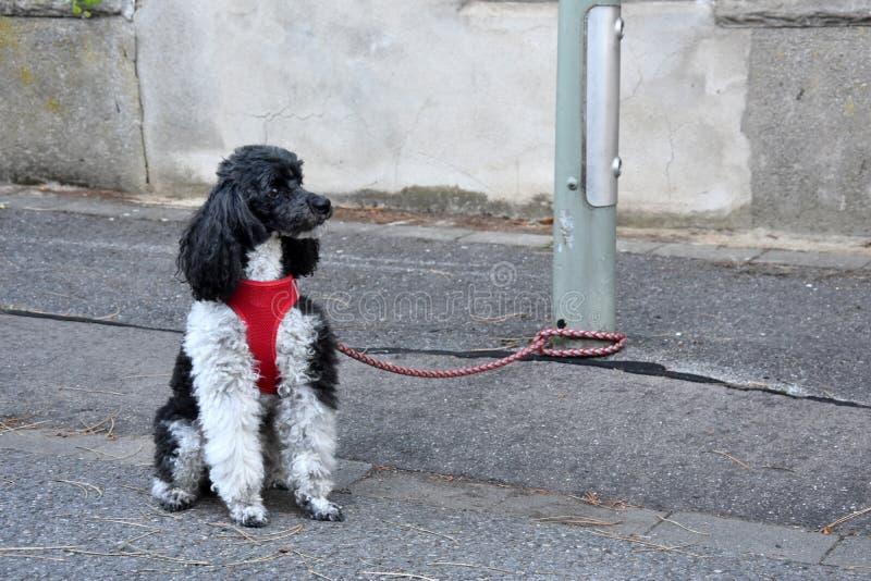 Μικρό poodle harlequin, που δένεται σε μια θέση λαμπτήρων, περιμένει τον ιδιοκτήτη του στοκ εικόνες με δικαίωμα ελεύθερης χρήσης