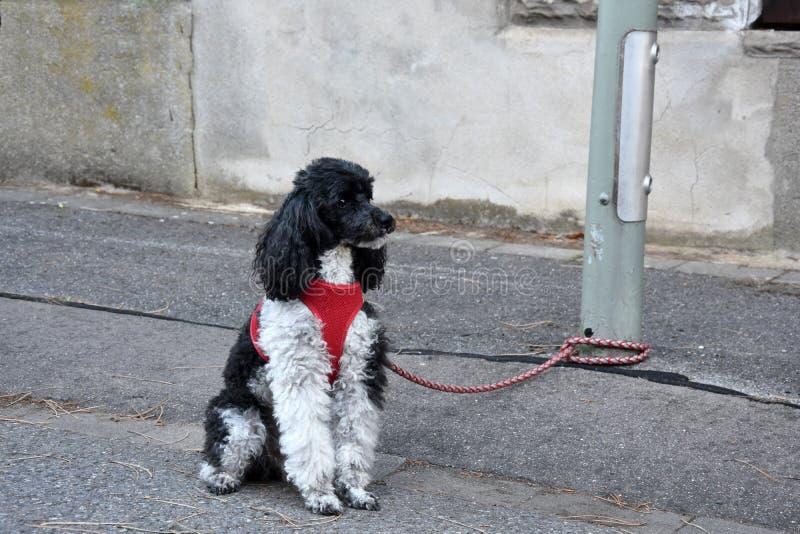 Μικρό poodle harlequin, που δένεται σε μια θέση λαμπτήρων, περιμένει τον ιδιοκτήτη του στοκ εικόνα