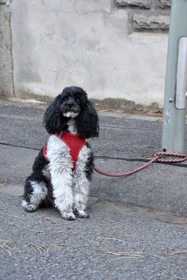 Μικρό poodle harlequin, που δένεται σε μια θέση λαμπτήρων, περιμένει τον ιδιοκτήτη του στοκ φωτογραφία με δικαίωμα ελεύθερης χρήσης