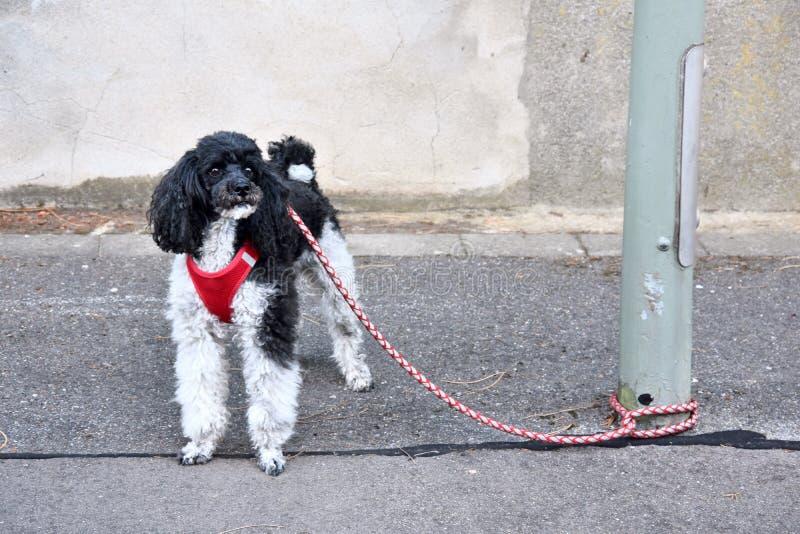 Μικρό poodle harlequin, που δένεται σε μια θέση λαμπτήρων, περιμένει τον ιδιοκτήτη του στοκ εικόνες