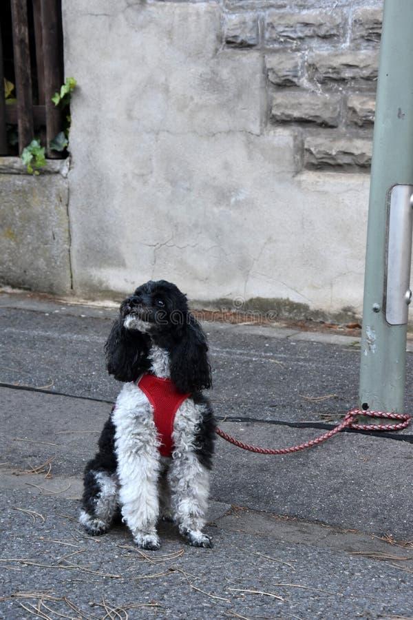 Μικρό poodle harlequin, που δένεται σε μια θέση λαμπτήρων, περιμένει τον ιδιοκτήτη του στοκ εικόνα με δικαίωμα ελεύθερης χρήσης
