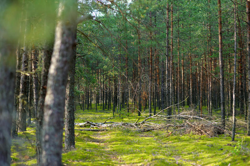Μικτά πεύκο και αποβαλλόμενο δάσος στοκ εικόνα
