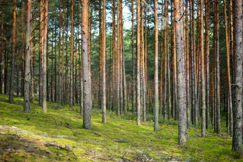 Μικτά πεύκο και αποβαλλόμενο δάσος στοκ εικόνες