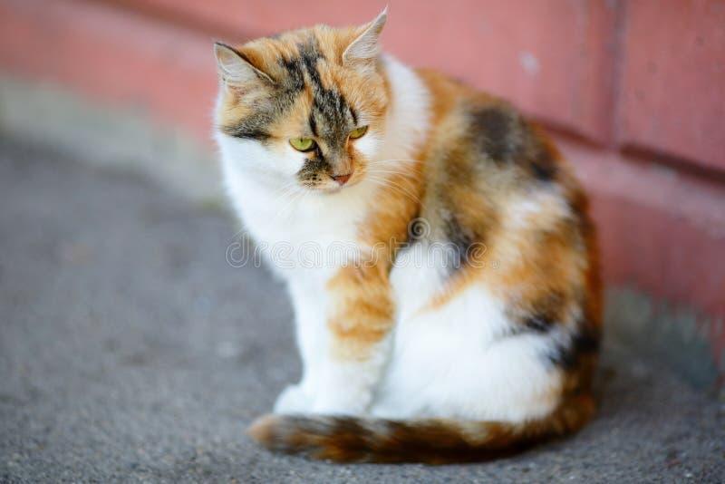 Μικτή άσπρη και κόκκινη γάτα φυλής στοκ εικόνες με δικαίωμα ελεύθερης χρήσης