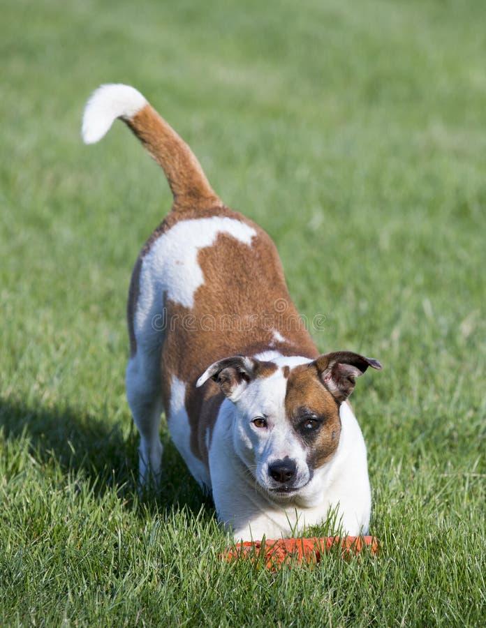 Μικτή αναμονή σκυλιών τεριέ φυλής που παίζει σε έναν χλοώδη τομέα μια ηλιόλουστη ημέρα στοκ εικόνες