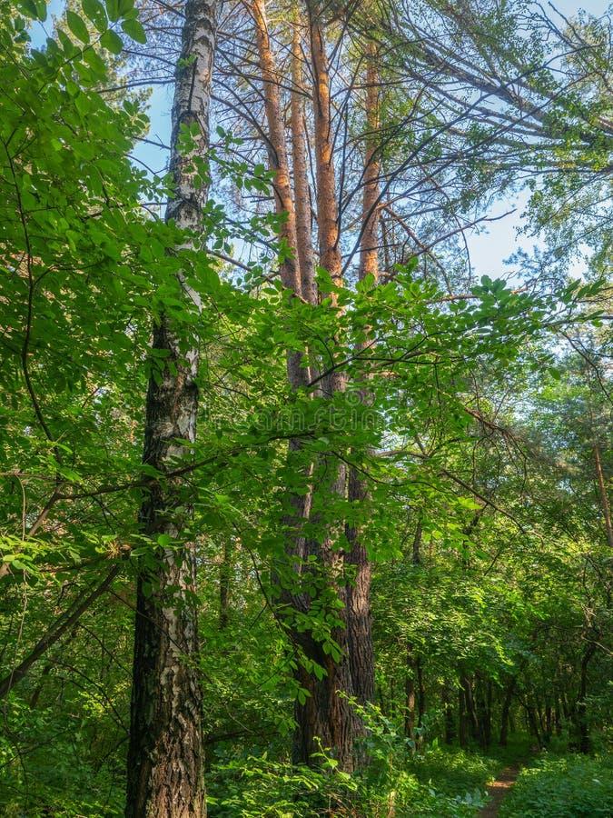 Μικτός δασικός, αποβαλλόμενος και κωνοφόρος μια φωτεινή θερινή ημέρα, φωτεινό φύλλωμα στις κορώνες δέντρων Οι υψηλές κορώνες των  στοκ εικόνα